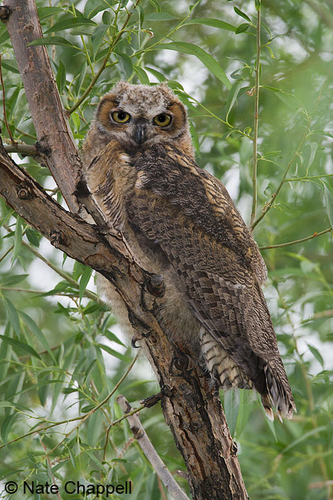 Great Horned Owlet  - Malheur National Wildlife Refuge, Oregon