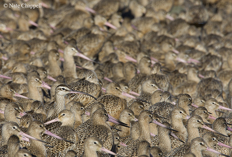 Whimbrel with Marbled Godwits