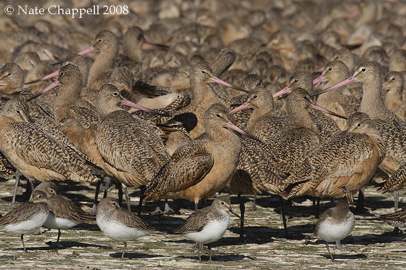 Dunlin and Marbled Godwits