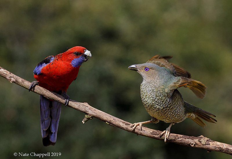 Crimson Rosella and Satin Bowerbird, female