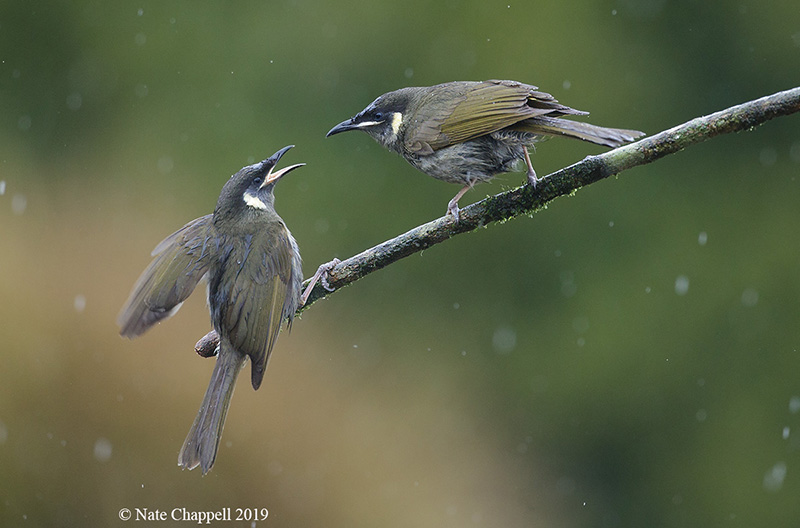 Lewin's Honeyeaters