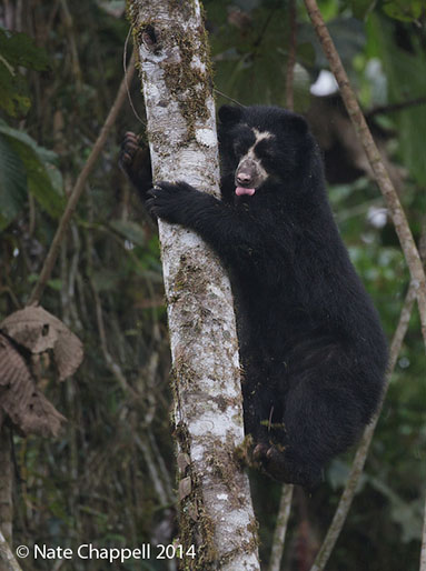 Spectacled Bear