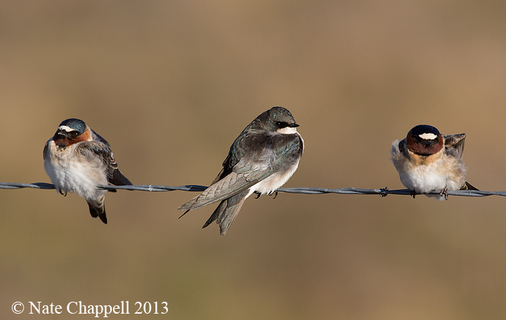 Cliff Swallows and Tree Swallow