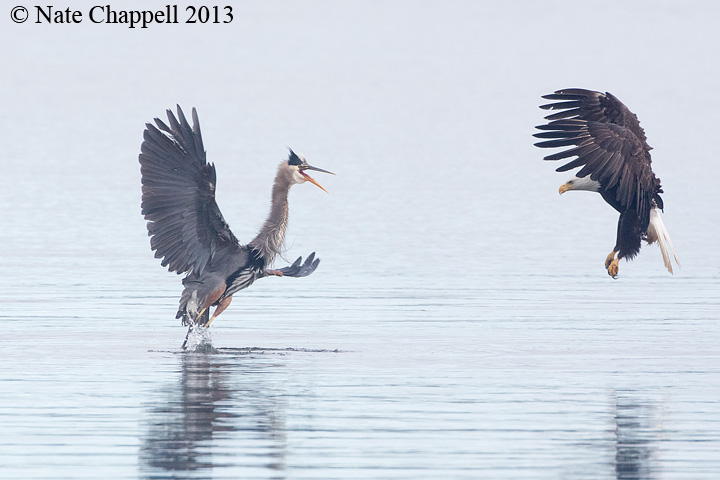 Great Blue Heron and Bald Eagle