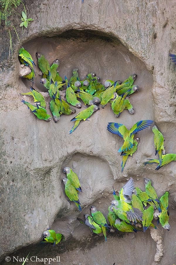 Dusky-faced Parakeets