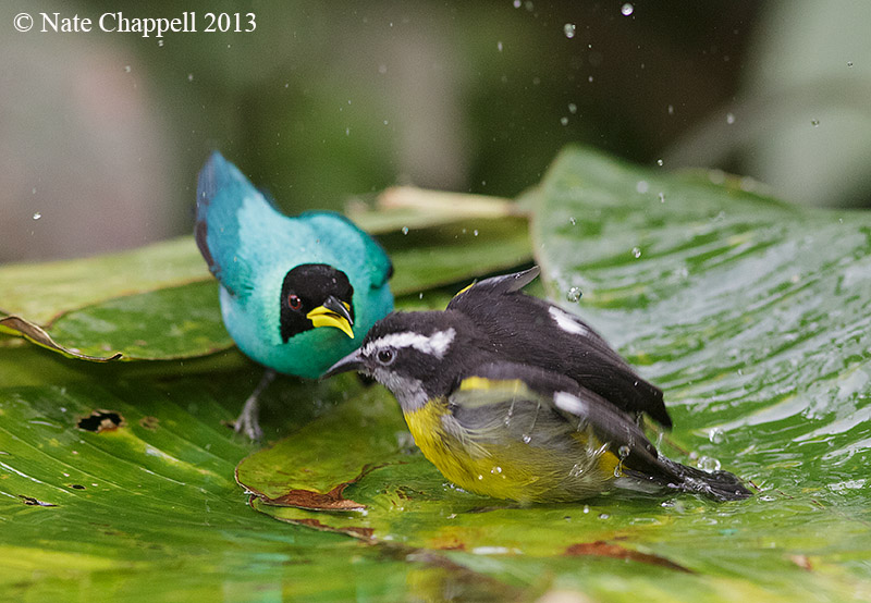 Green Honeycreeper and Bananaquit
