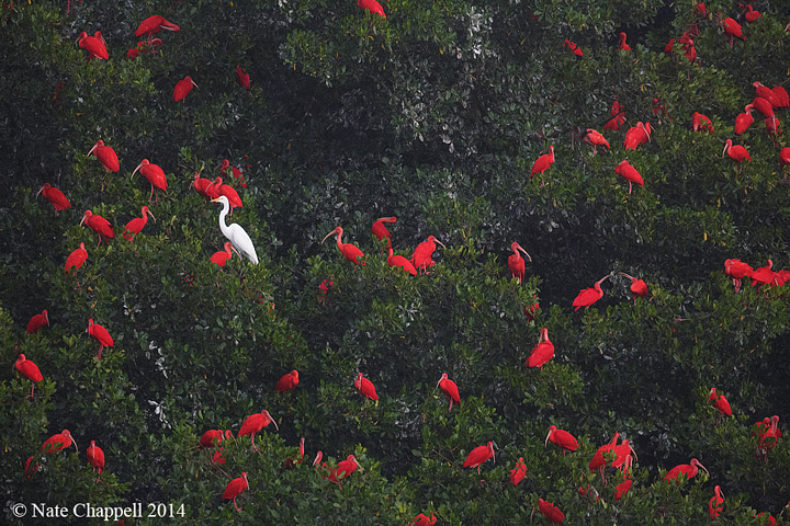 Great Egret with Scarlet Ibis