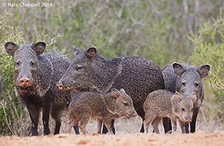 White-collared Peccary family