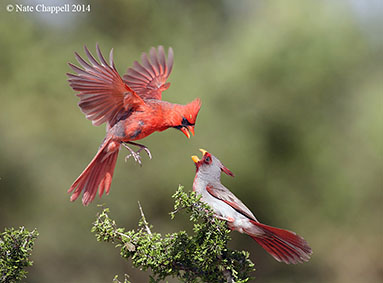 Carrdinal and Pyrrhuloxia