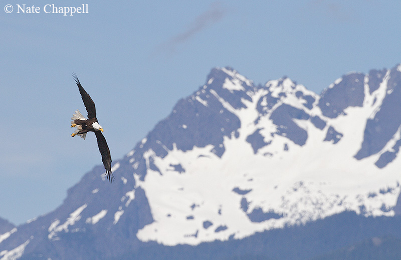 Bald Eagle and Olympic Mountains