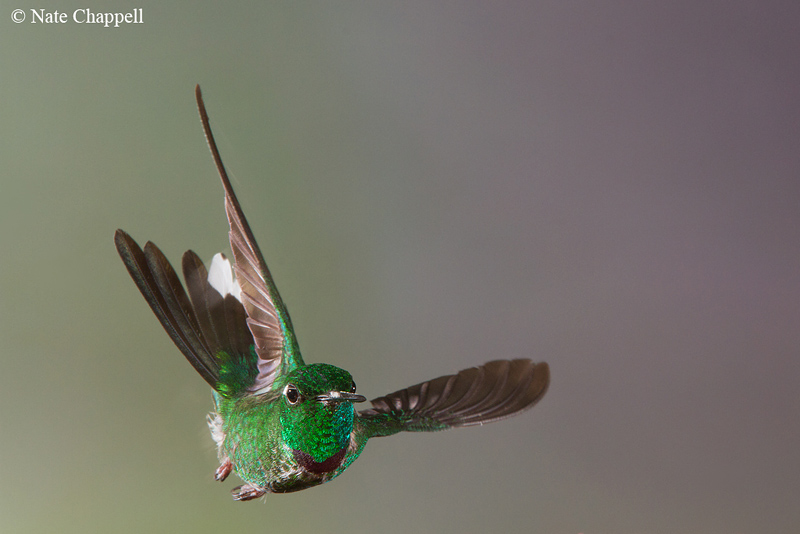 Purple-bibbed Whitetip