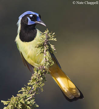 Green Jay - Santa Clara Ranch