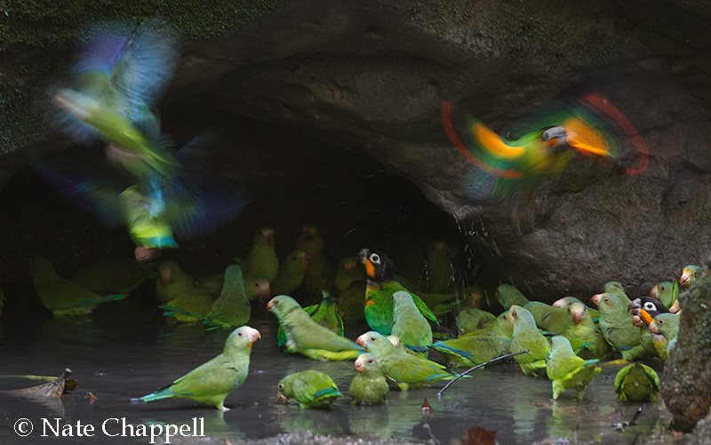 Orange-eared Parrots and Cobalt-winged Parakeets