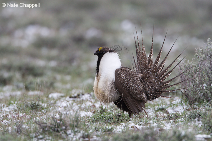 Sage Grouse - Malheur National Wildlife Refuge - Oregon