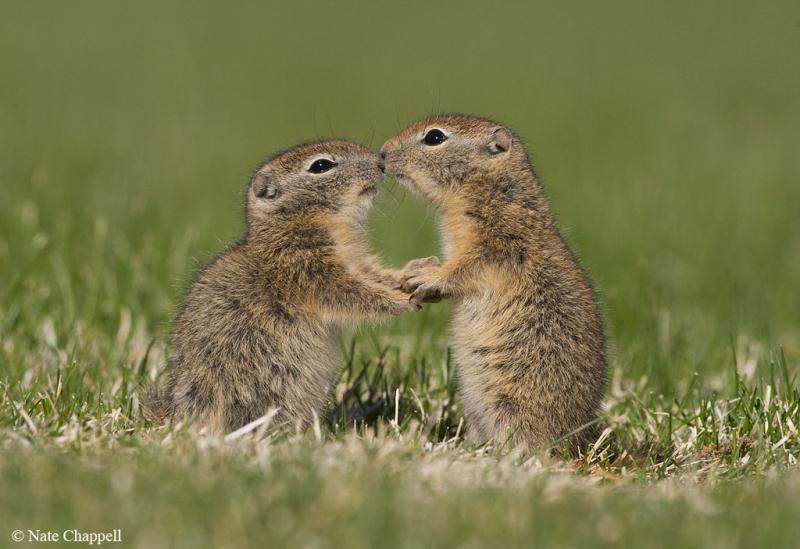Belding's Ground Squirrels - Malheur National Widllife Refuge, Oregon