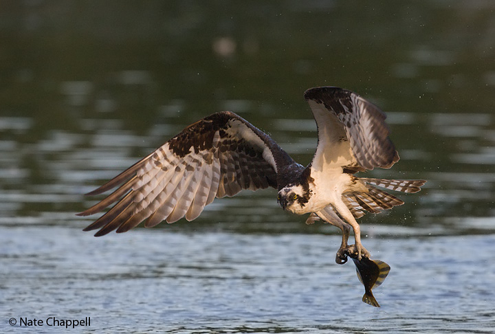 Osprey with Starry Flounder