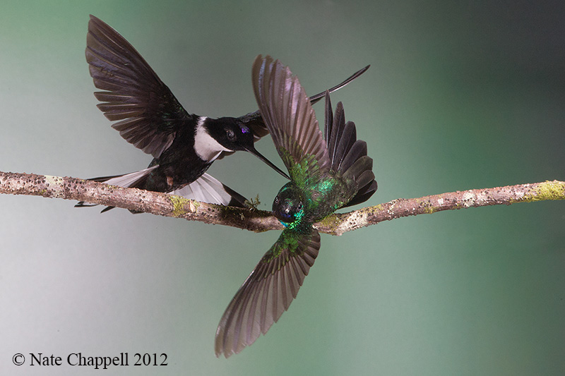 Collared inca and Tourmaline Sunangel