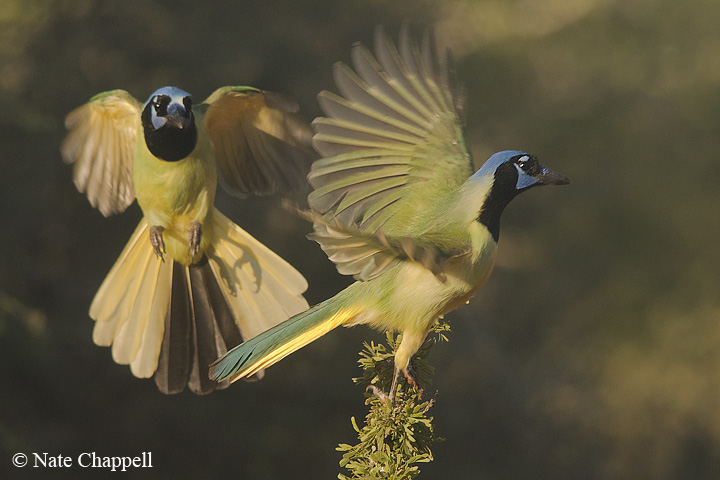 Green Jays - Santa Clara Ranch