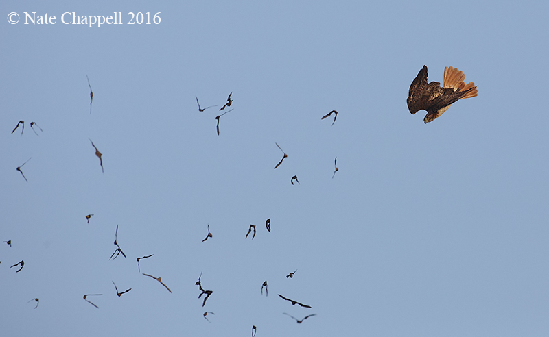 Red-tailed Hawk with Mexican Free-tailed Bats